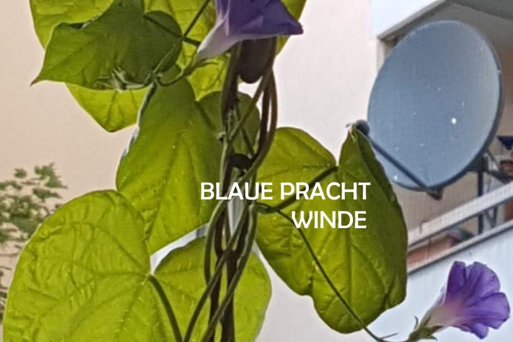 blaue-prachtwinde