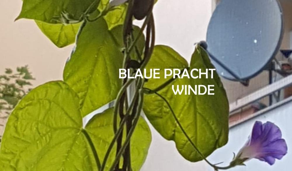 blaue-prachtwinde2